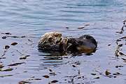 A sea otter floating in the ocean.