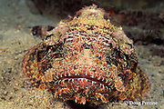 spotted scorpionfish, Scorpaena plumieri, The Garden, Saint Vincent or St. Vincent, West Indies ( Eastern Caribbean Sea )