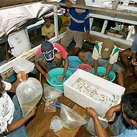 Pterapogon kauderni  emball&eacute;s pour l'exportation vers les aquariums du monde entier<br /> <br /> Mission Banggai Cardinal Fish, Mai 2008, Act for Nature - Musee oceanographique de Monaco