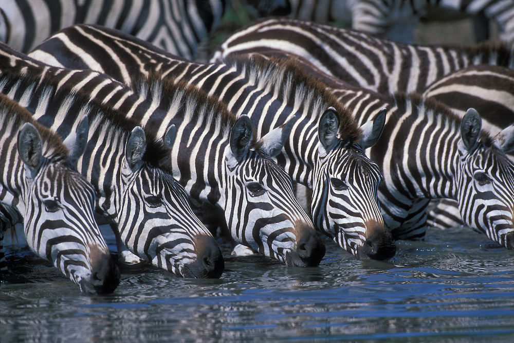 Africa, Kenya, Masai Mara Game Reserve, Plains Zebra herd (Equus burchelli) drinking from shallow Telek River