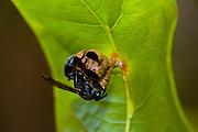 Sao Jose do Rio Preto_SP, Brasil...Programa Biota da Unesp, na foto uma vespa...The Biota program of Unesp, in this photo a wasp.. .Foto: JOAO MARCOS ROSA /  NITRO