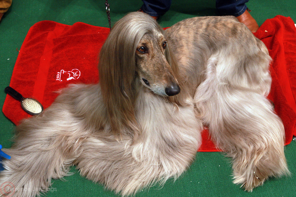 An Afghan Hound at The 134th Westminster Kennel Club Dog Show Presented by Pedigree held at Madison Square Garden on February 15, 2010..In 2010, the 134th Annual Westminster Kennel Club Dog Show will add to its legacy as the greatest dog show in the world. It persists as the second longest continuously held sporting event in this country, just one year behind the Kentucky Derby. ..