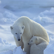 Polar bear (Ursus maritimus) mother and cub. Churchill, Manitoba. Canada