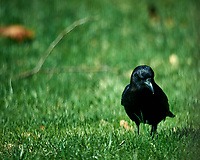 Black Crow. Image taken with a Nikon D4 camera and 600 mm f/4 VR lens (ISO 100, 600 mm, f/4, 1/800 sec)
