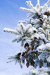 July 21, 2019 - Evergreen Tree Covered In Frost And Snow (Credit Image: © Caley Tse/Design Pics via ZUMA Wire)