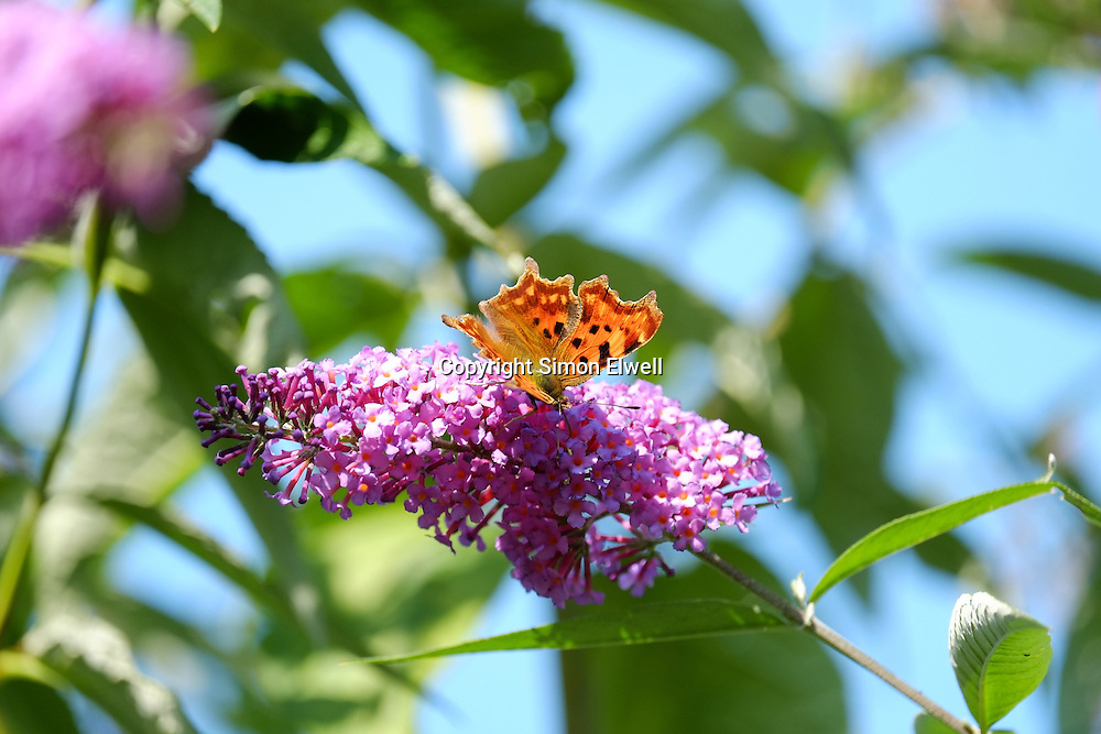 Comma Butterfly on a buddleia bush in England - August 2013