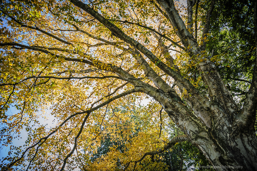 Yellow leaves of Autumn on this silver barked tree against a backdrop of a blue sky