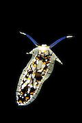 (Cerberilla sp.)