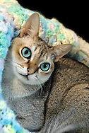 Beautiful Singapura cat, with huge bright blue eyes, and big ears, looking up from bed covered in crocheted blanket of pastel colors of yellow, green, pink, green, white, with black upper corner.