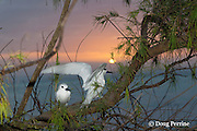white tern or fairy terns, Gygis alba rothschildi, at sunset, Sand Island, Midway, Atoll, Midway Atoll National Wildlife Refuge, Papahanaumokuakea Marine National Monument, Northwest Hawaiian Islands,  ( Central North Pacific Ocean )