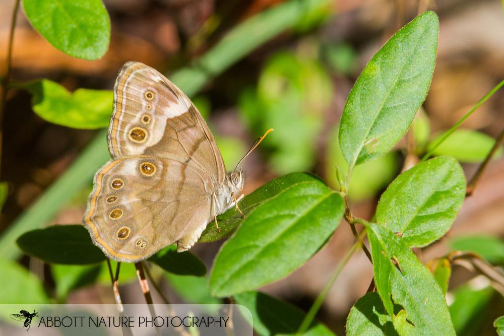 Southern Pearly-eye - Hodges#4568 (Lethe portlandia)<br /> ALABAMA: Hale Co.<br /> Taladega National Forest off FR 715; Brent<br /> 17-Oct-2017<br /> J.C. Abbott