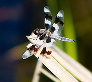 Flying Beauty - Dragonfly - Washington