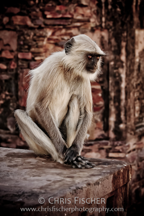 Hanuman Langur, Ranthambore National Park, India