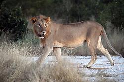 NAMIBIA ETOSHA 30APR14 - A male lion emerges from the bush near Namutoni, Etosha National Park, Namibia.<br /> <br /> <br /> <br /> jre/Photo by Jiri Rezac<br /> <br /> <br /> <br /> © Jiri Rezac 2014