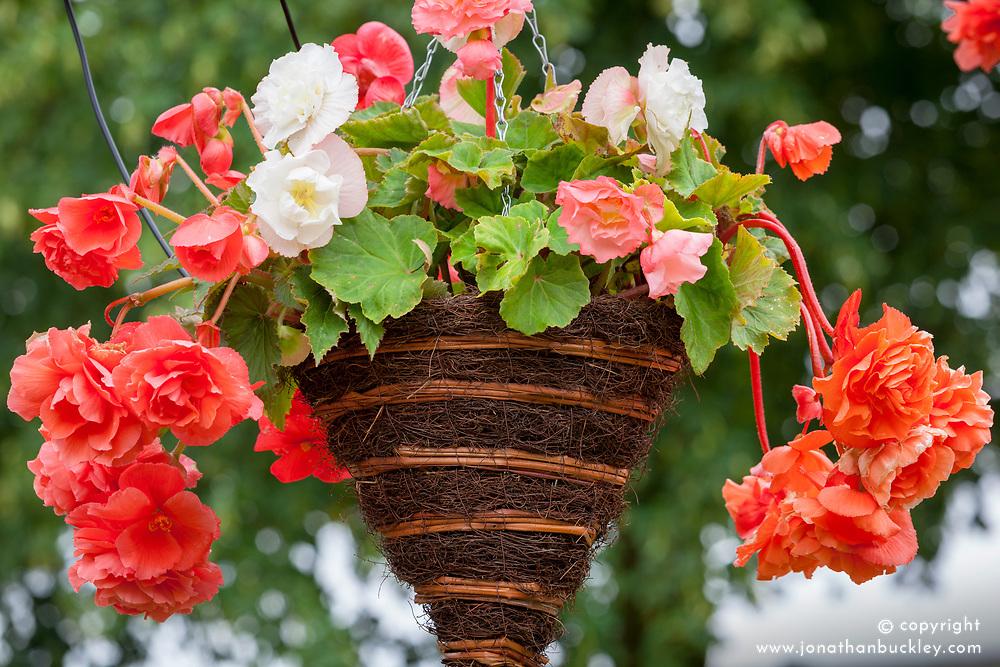 Begonia 'Parisienne'