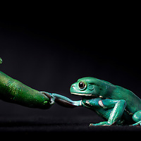 First Place FotoWeek DC 2012, Natural World Portfolio. Metamorphosis. Waxy monkey frog and finger
