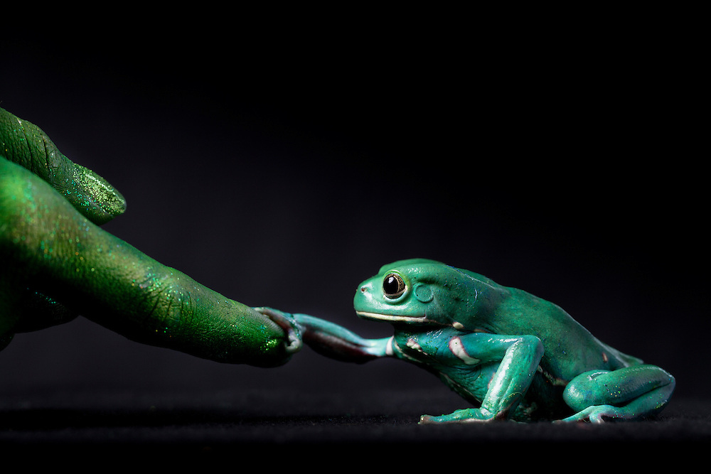 First Place FotoWeek DC 2012, Natural World Portfolio. Metamorphosis. Waxy monkey frog and finger