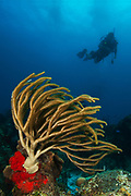 Diver drifts past large gorgonian soft coral off the coast of Cozumel, Mexico.