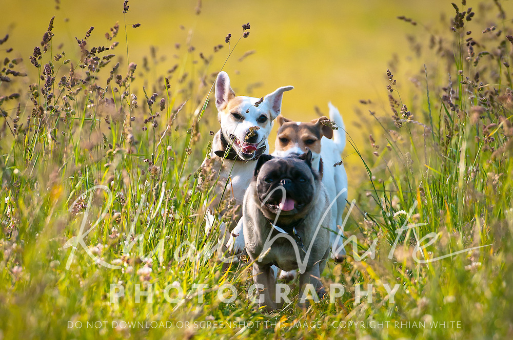 Arty and Pip with their friend, a pug, running through a field.