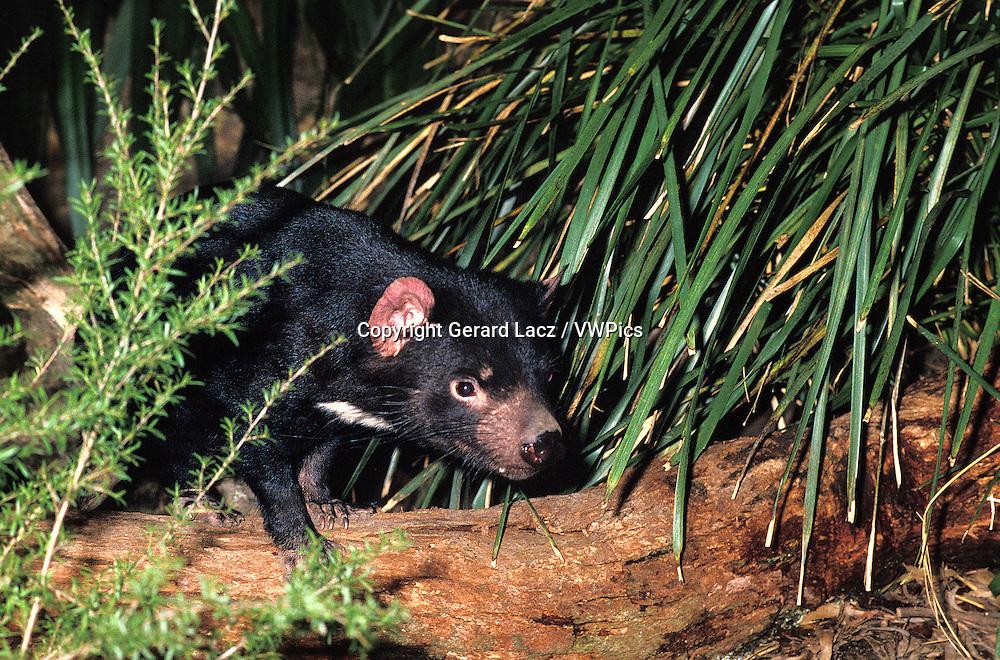 TASMANIAN DEVIL sarcophilus harrisi, ADULT, AUSTRALIA