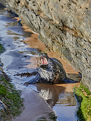 Newly independent Grey Seal pup exploring the North Devon coast