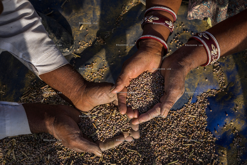 Guar farmers Pemaram Jangu, 70 and his wife Jhuma Jangu, 65, sift through their crop after threshing it in their field in Hameira village, Bikaner, Rajasthan, India. Non-Profit Organisation Technoserve works with Guar farmers in Bikaner to provide technical farming knowledge to them, improving their crop yield through good agricultural practices. Photograph by Suzanne Lee for Technoserve