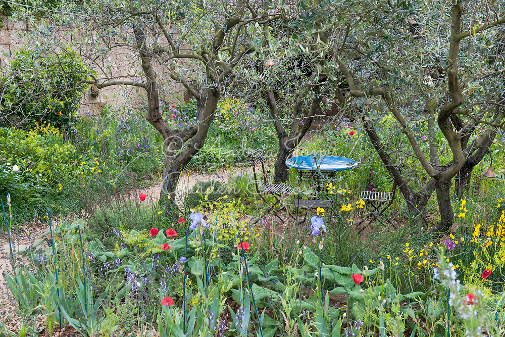 A Perfumer&rsquo;s Garden in Grasse by L&rsquo;Occitane <br /> Gold Medal winner at RHS Chelsea Flower Show 2015<br /> Designer: James Basson<br /> Sponsor: L&rsquo;Occitane<br /> <br /> Patio table and chairs under a group of olive trees with flowering Iris germanica and Papaver rhoeas