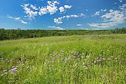 Wild bergamot or bee balm (Monarda fistulosa) flowers on the prairie of the Saskatoon Trail <br /> Near Battleford<br /> Saskatchewan<br /> Canada