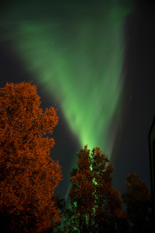 A brilliant green fan-shaped aurora lights up the night sky in Alaska and the photo is accentuated by incandescent light shining on birch trees.