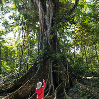A Lindblad Expeditions guest stands amidst the buttress roots and points towards the giant trunk of an old ficus tree in the tropical rainforest near Casual off of the Marañon River. Pacaya Samiria National Reserve, Upper Amazon, Peru.