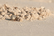 Crab in shell on the sand of the beach at  Isla Pacheca shore. Las Perlas Archipelago, Panama Province, Panama, Central America.