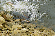 Lake Sturgeon spawning in the Wolf River, Wisconsin.<br /> <br /> ENGBRETSON UNDERWATER PHOTO