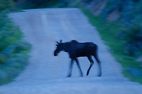 Moose near the South Fork of the Snake River in Idaho.