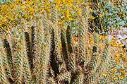 Cholla and brittlebush, Anza-Borrego Desert State Park, California USA