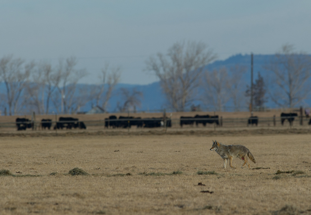 A coyote hunts for food in a field.
