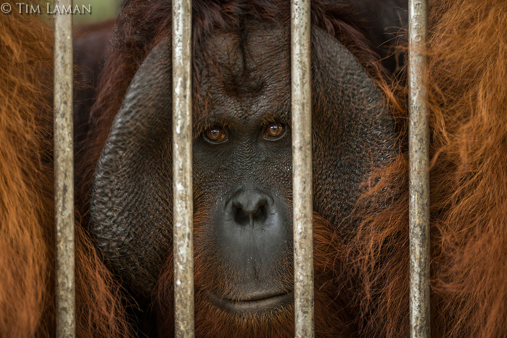 A non-releasable flanged male orangutan at IAR<br /> <br /> International Animal Rescue (IAR)<br /> Ketapang<br /> West Kalimantan Province<br /> Island of Borneo<br /> Indonesia