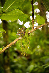 La Fortuna, Alajuela: Hummingbird's nest discovered during a rainforest exploration at the Arenal Hanging Bridges.  It is only a little bit larger than a human thumb.
