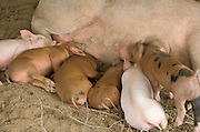 row of piglets nursing