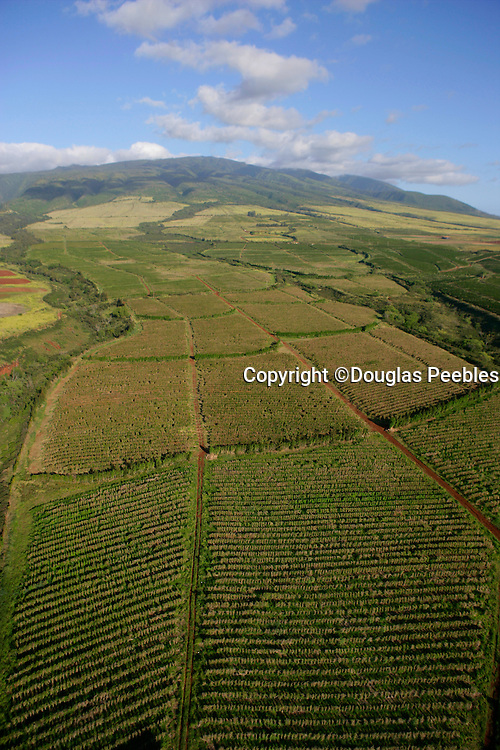 Coffee fields, Kaanapali, Maui, Hawaii