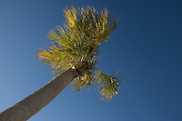 Cabbage Palm on Sanibel Island taken from a very relaxing position on the beach!