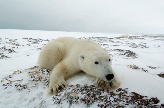 Polar Bear (Ursus maritimus) Sub adult resting, low ground view. Churchill, Manitoba. Canada. Winter.