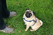 The ever-sad-looking pug Alfie.