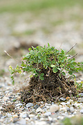 a sprouting bunch of clover placed on top of fine gravel