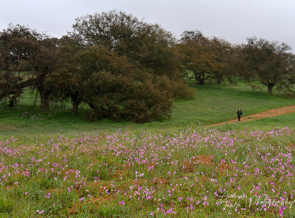 Photo by www.andrewfoulkphotography.com A hiker walks past a small patch of shooting star flowers on the Santa Rosa Plateau Ecological Reserve. With minimal rain fall this year the wildflower bloom on the plateau is expected to be smaller than past years.