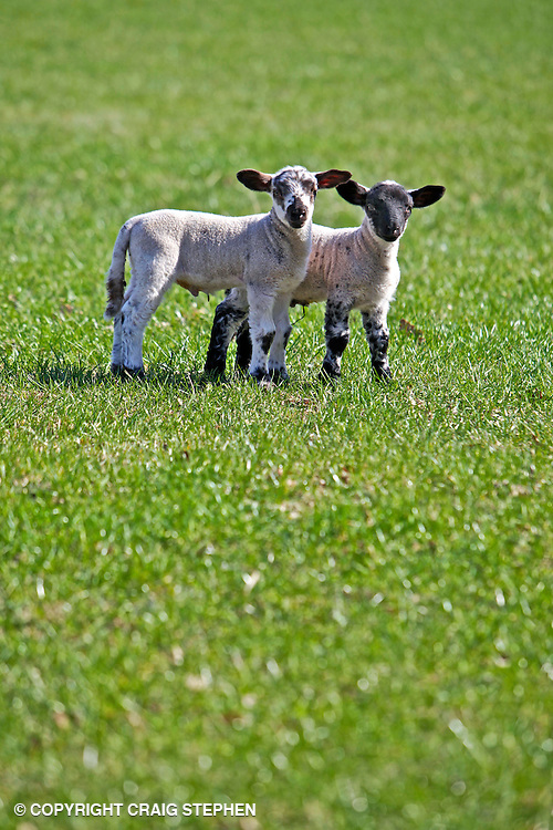 Spring lambs in green pasture field on sunny day