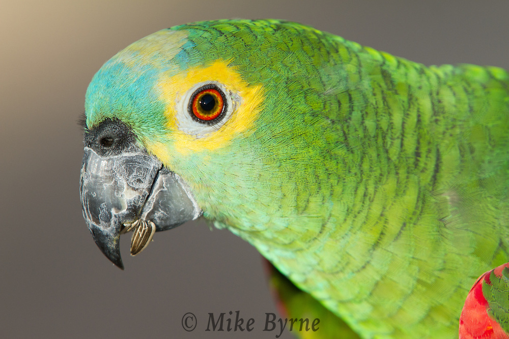 Blue-fronted Amazon parrot (Amazona aestiva) perched on a branch near Araras Eco Lodge (Pantanal, Mato Grosso, Brazil)