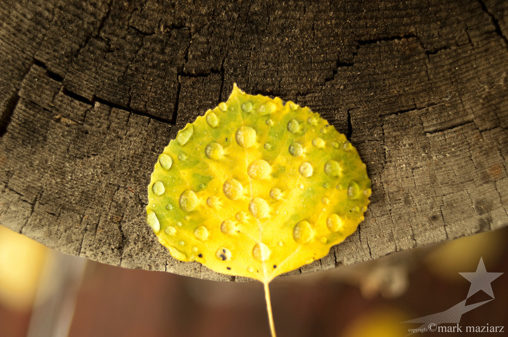 Aspen leaf on log with raindrops