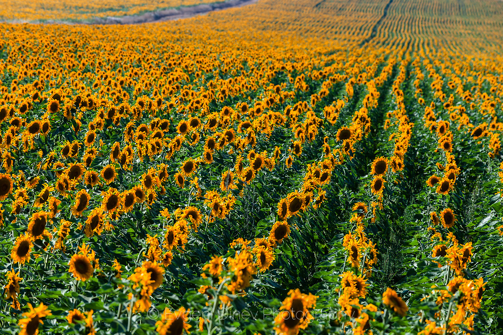 Field with new sunflowers