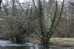 Denham, UK. 4 February, 2020. An area cleared for works for the HS2 high-speed rail link leading down to ancient alder trees, one of which with a girth of 11.6 metres, and the river Colne. Planned works in the immediate area are believed to include the felling of 200 trees and the construction of a roadway, Bailey bridge, compounds, fencing and a parking area. The other side of the river bank lies within a wetland nature reserve forming part of a Site of Metropolitan Importance for Nature Conservation (SMI). Credit: Mark Kerrison/Alamy Live News