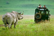Confrontation with a black rhino, Ngorongoro Conservation Area, Tanzania.